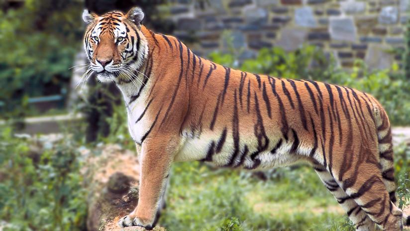 El director de un santuario de fauna salvaje trata de salvar a un tigre de Bengala de las inundaciones y este casi lo mata