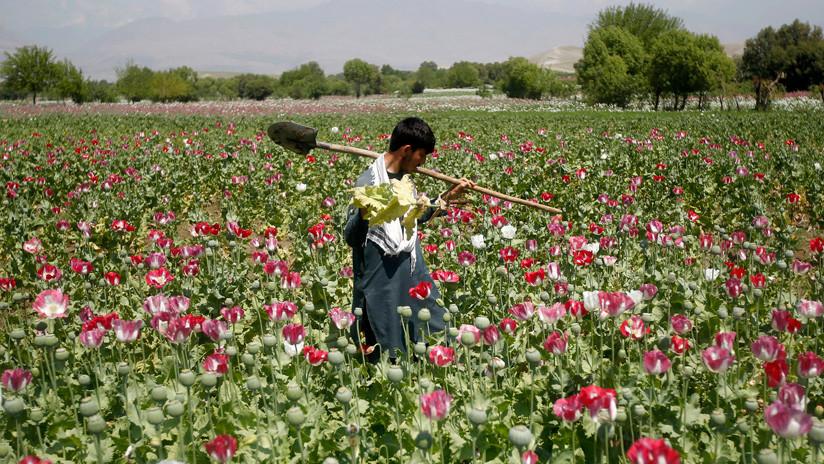 La guerra contra el opio en Afganistán: ¿Un ataque a las fuentes de financiación terrorista o simple despilfarro?