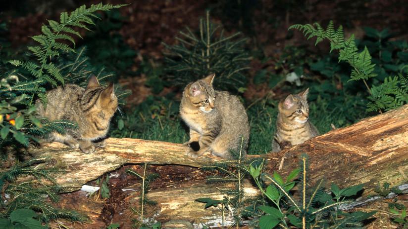 Australia sigue adelante con el exterminio de gatos salvajes, ahora con salchichas envenenadas