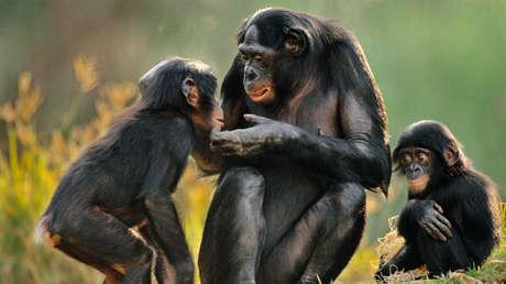 Implantan genes humanos en el cerebro a unos monos: estos fueron los cambios que sufrieron