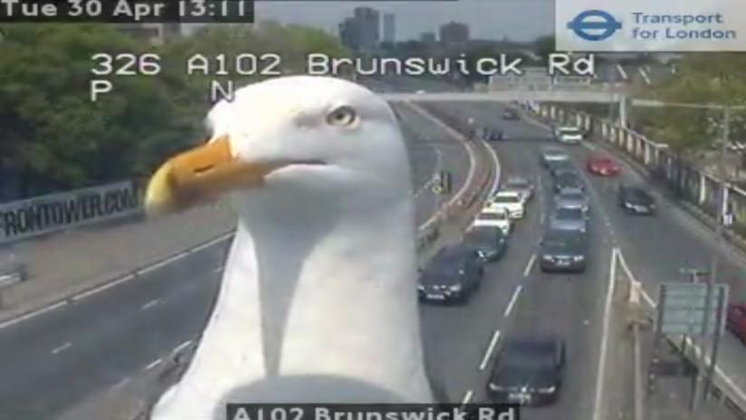 Londres: Gaviotas arruinan una grabación del tráfico y se vuelven virales (FOTOS, VIDEO)