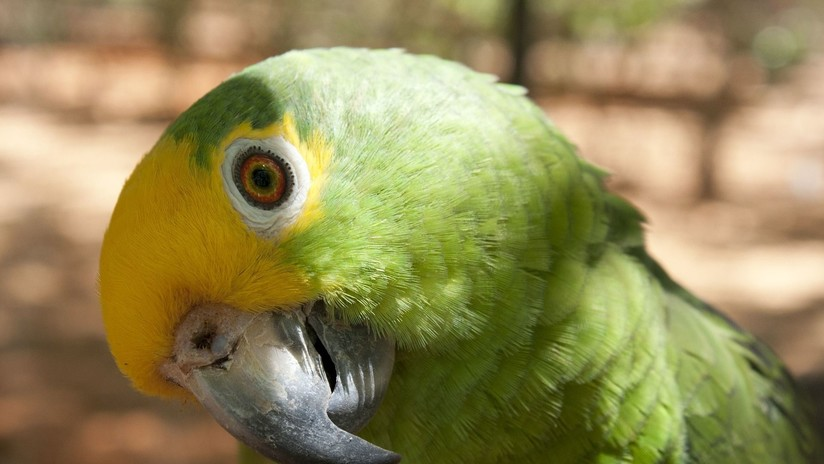 Un ecólogo venezolano gana el 'Oscar verde' por ayudar a conservar un loro en peligro de extinción