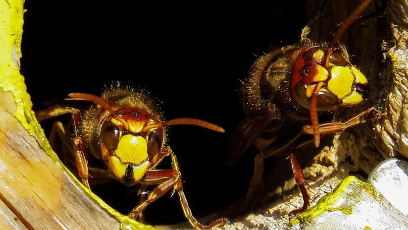 Descubren cómo hacen las avispas para convertir en 'zombis' a las arañas y esclavizarlas