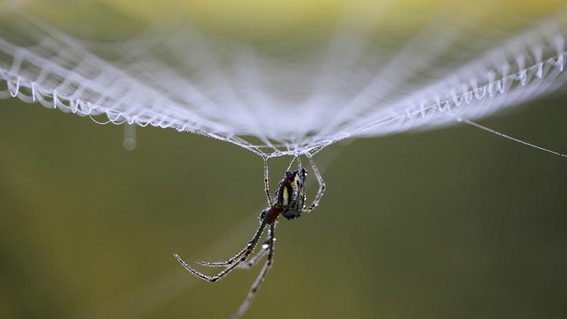 VIDEO: Hallan una araña que tejía su tela dentro del oído de un hombre