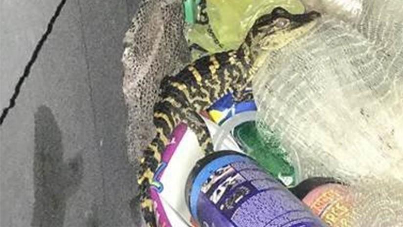 Una mujer saca un caimán de sus pantalones tras ser detenida por la Policía en Florida