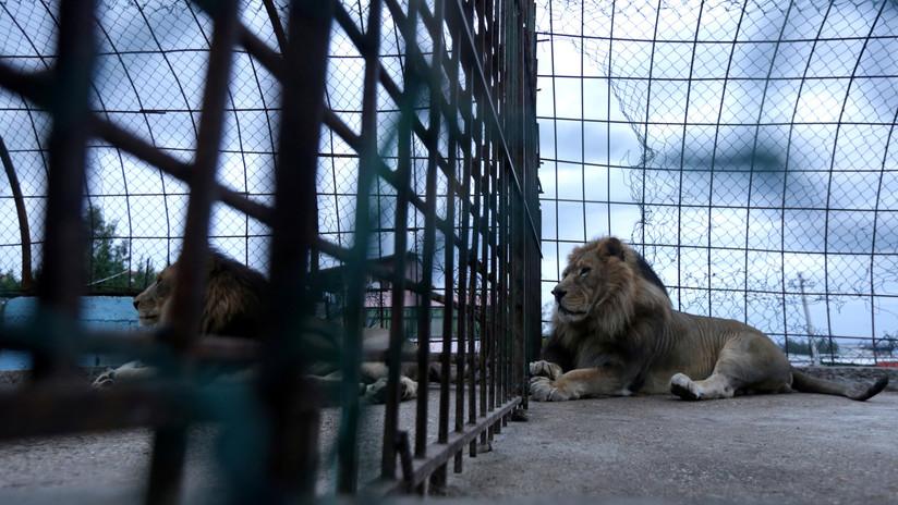 """FOTOS: Hallan en centro de crianza de animales en cautiverio a 27 leones con sarna y otros felinos en """"condiciones sucias y parasitarias"""""""