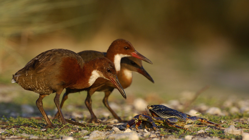 El ave que volvió de la muerte: Una especie extinguida regresó a la vida miles de años después