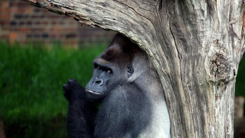 Mundo Web: Gorilas sorprenden con sus habilidades para refugiarse de la lluvia