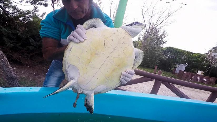 VIDEO: Graban a una tortuga marina defecando grandes cantidades de basura mientras es rescatada en Argentina