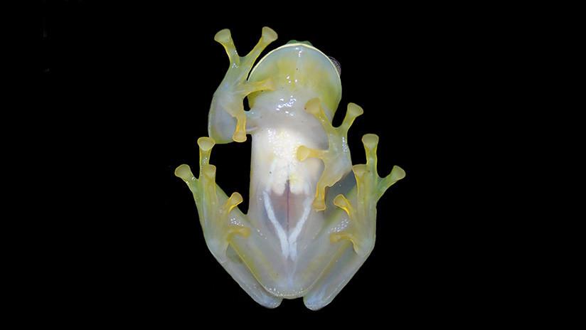 Colombia: Hallan una nueva especie de rana de cristal