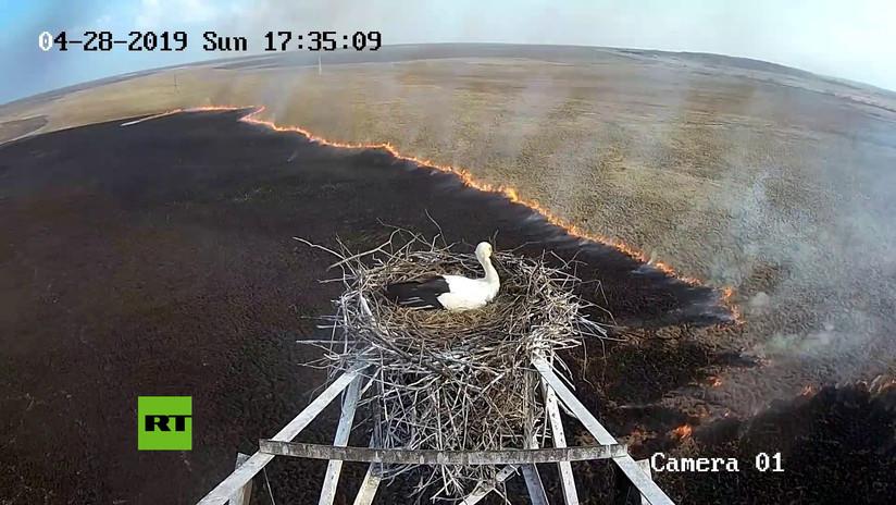 VIDEO: Una cigüeña permanece impasible en su nido durante un incendio protegiendo a sus futuros polluelos