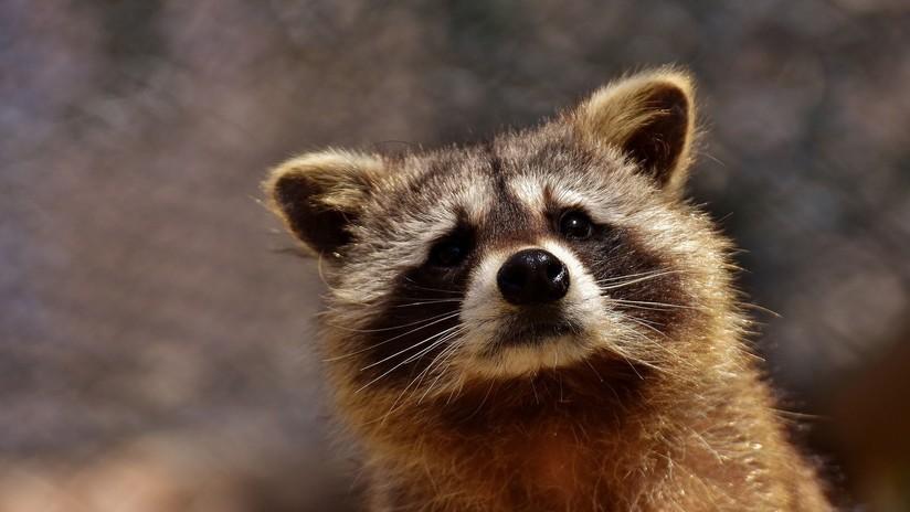 EE.UU.: La Policía advierte de la amenaza de los 'mapaches zombi' en Chicago