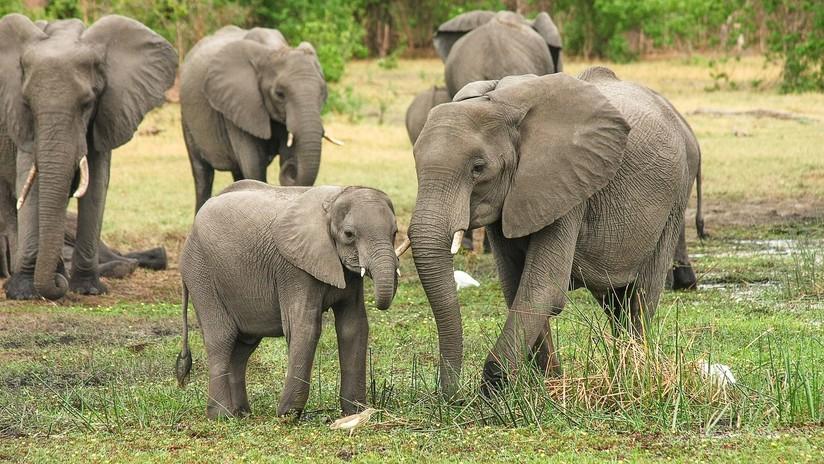 Por arrojarle piedras a su cría, elefante mata a un hombre