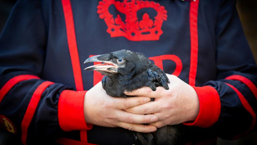 Los cuervos de la Torre de Londres 'salvan al país' al tener descendencia por primera vez en 30 años