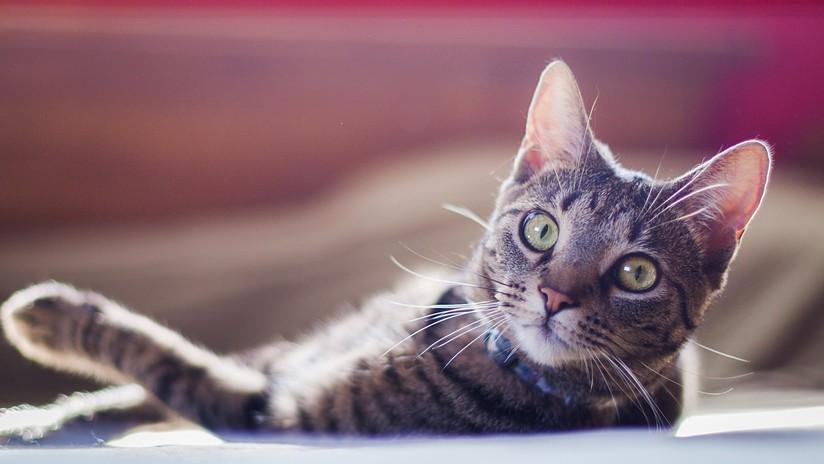 VIDEO: Un gato aficionado a las películas de acción no quita ojo a una batalla final y se hace viral en la Red