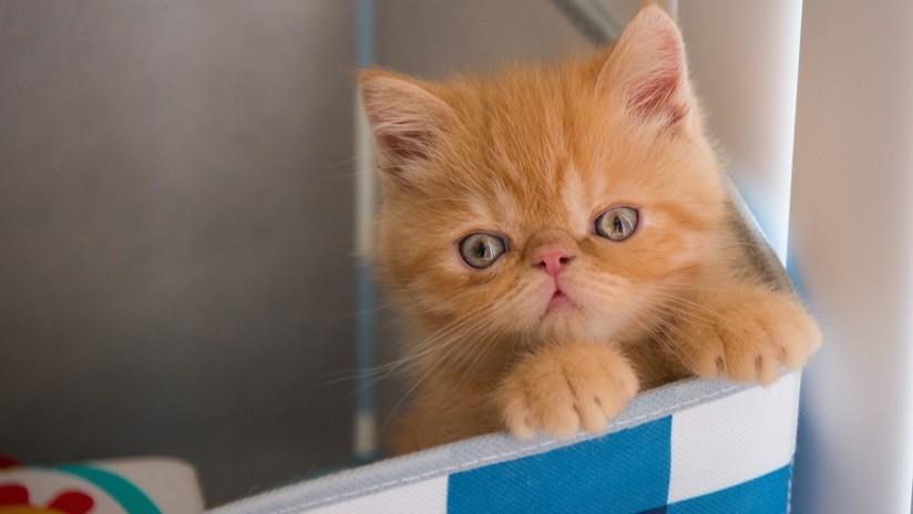 VIDEO: Una gata pierde la paciencia ante la indecisión de su cría y la empuja dentro de una caja de cartón