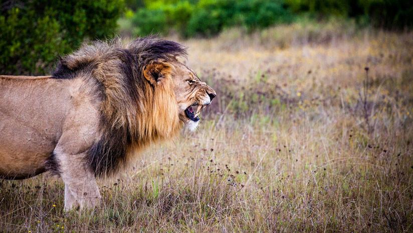 VIDEO: El feroz ataque de un león alfa que no quería compartir su presa