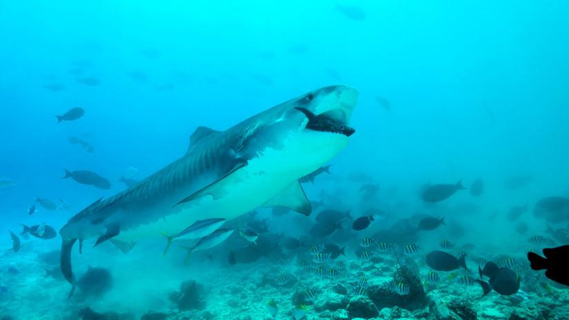 Estudio del vómito de tiburones muestra que se alimentan de un animal totalmente inesperado
