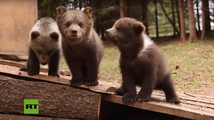 VIDEO: Dos cachorros de oso pardo huérfanos encuentran un nuevo hogar en un centro de vida silvestre en Rusia