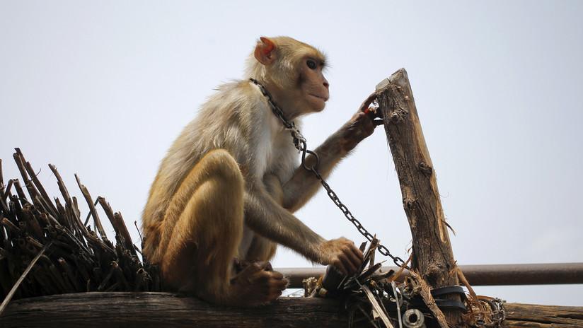 Atrapan a un mono que atacaba a los habitantes de una ciudad india