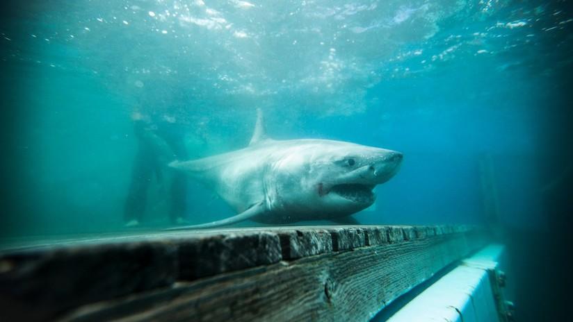 FOTOS: Avistan el primer gran tiburón blanco en aguas cercanas a Nueva York