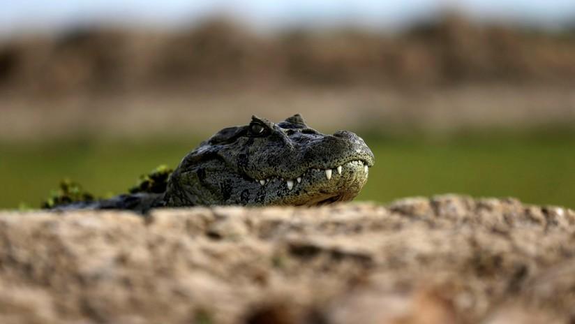 Encuentran muerto en México un cocodrilo asfixiado por una llanta