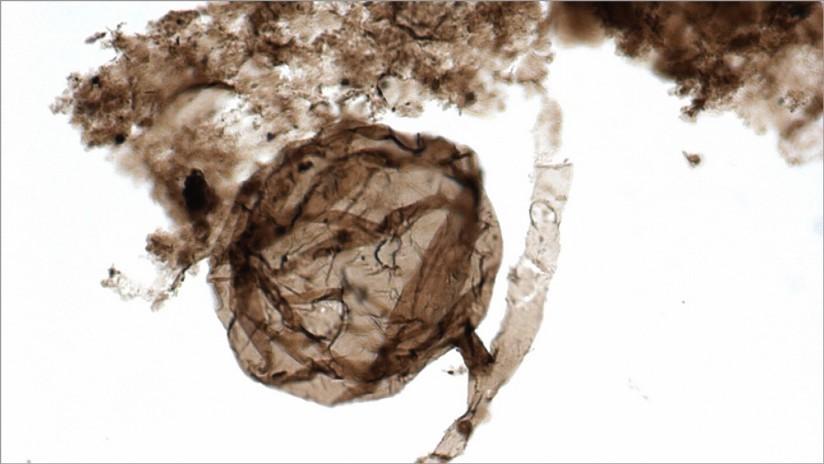 Hallan los fósiles más antiguos de vida multicelular en la Tierra