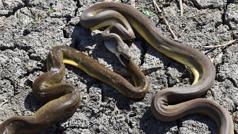 FOTOS: Una enorme pitón trata de comerse a otra serpiente más grande pero no puede con ella
