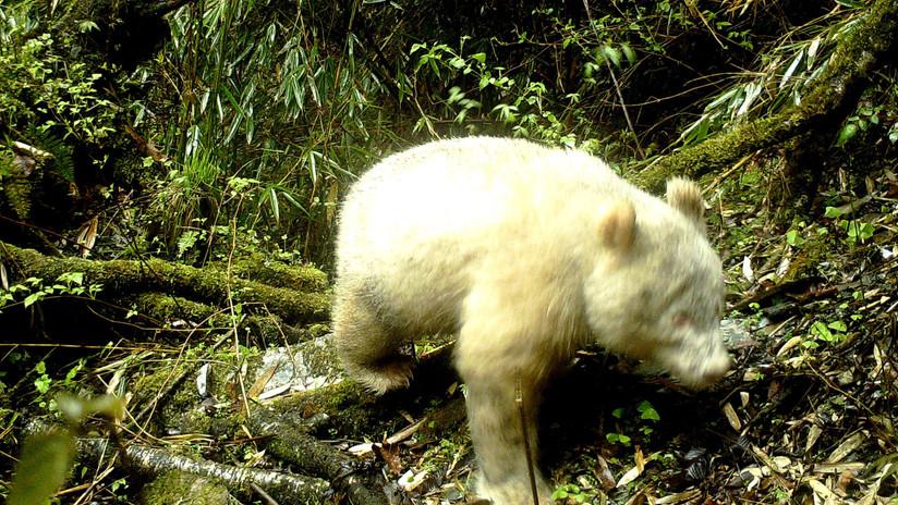 Captan por primera vez un raro panda gigante albino en China