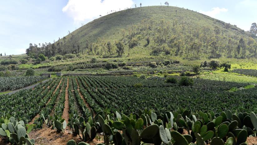 ¿Por qué el nopal y el amaranto podrían hacer frente a la crisis mundial de los alimentos?