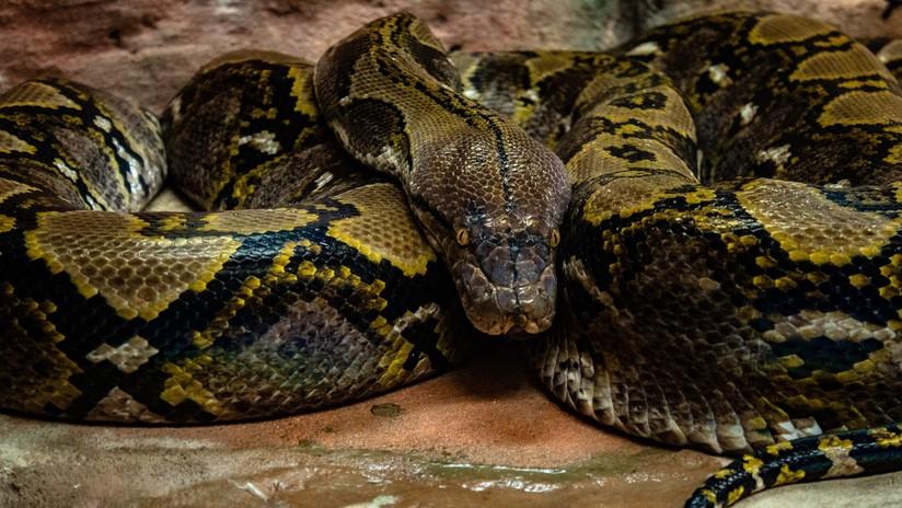 Nacen dos anacondas sin la participación de un macho durante la concepción