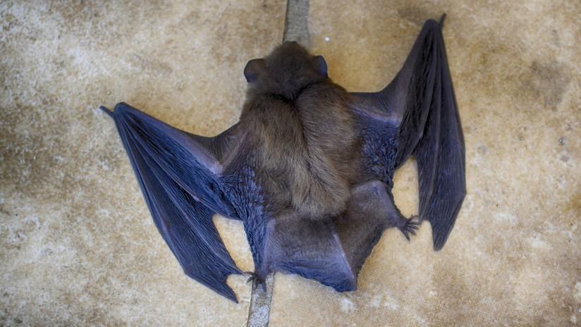 Un murciélago escondido en la funda de un iPad muerde a un hombre y lo contagia de rabia