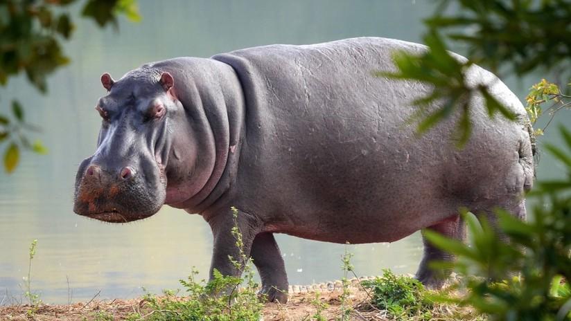 Hippopotamus Attack Video