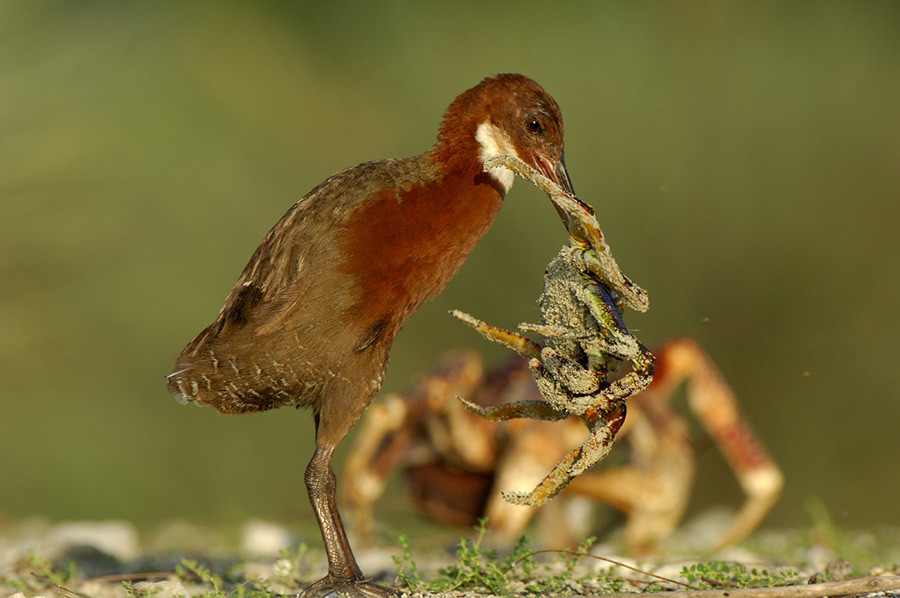 Reapareció un ave que se había extinguido hace 136 mil años