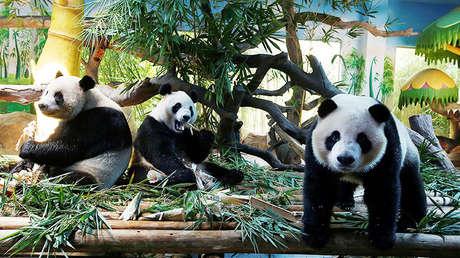 Captan por primera vez un raro panda gigante albino en China  5cdfbc95e9180f512b8b4567