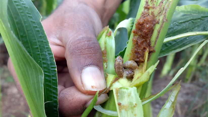 Una plaga de larvas hambrientas pone en peligro la agricultura en todo el mundo