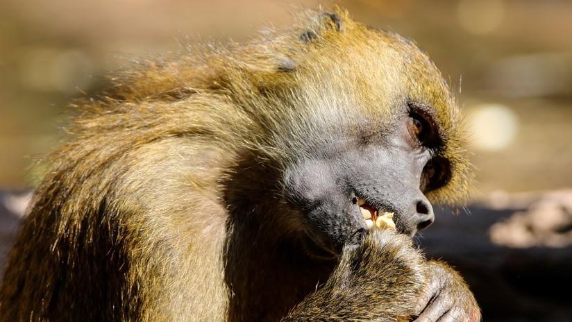 VIDEO: Un babuino atrapa a dos patitos en un zoológico y los devora ante los horrorizados ojos de los niños