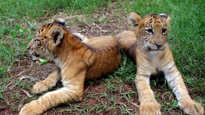 Un híbrido entre una tigresa y un león es el felino más grande del mundo (VIDEO)