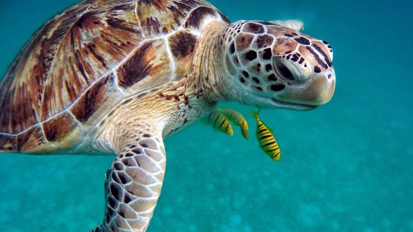 Se busca candidato para descansar en un complejo hotelero de Maldivas... a cambio de cuidar tortugas