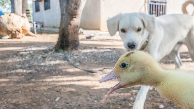 El video del perro que pierde el control y se desmaya al ver unos patos es más triste de lo que imaginas