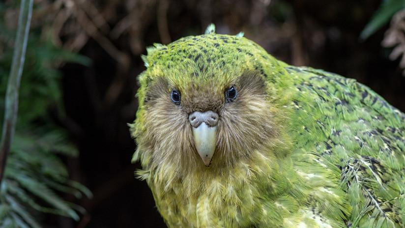 Una plaga infecciosa pone en peligro el futuro de los kakapos, los loros más gordos del mundo