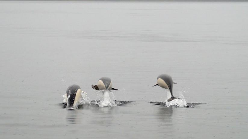 FOTO: Fotografían por primera vez a un delfín liso en el estrecho de Magallanes