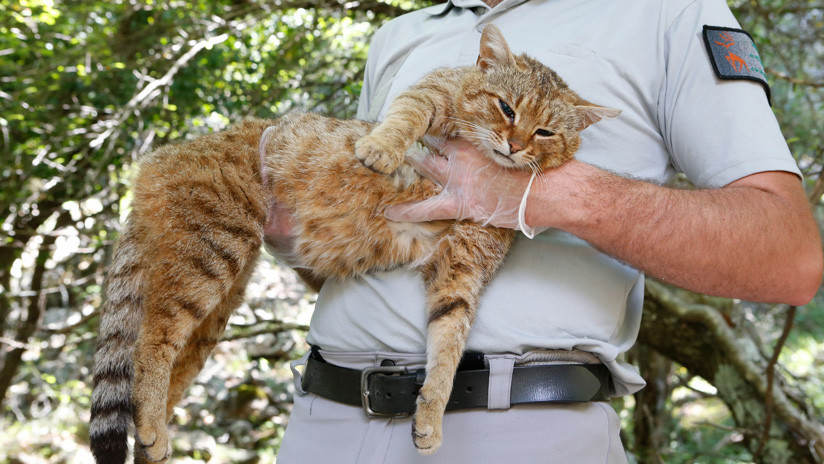¿Un 'gato zorro'? Descubren una posible nueva especie de felino en Francia (VIDEO)