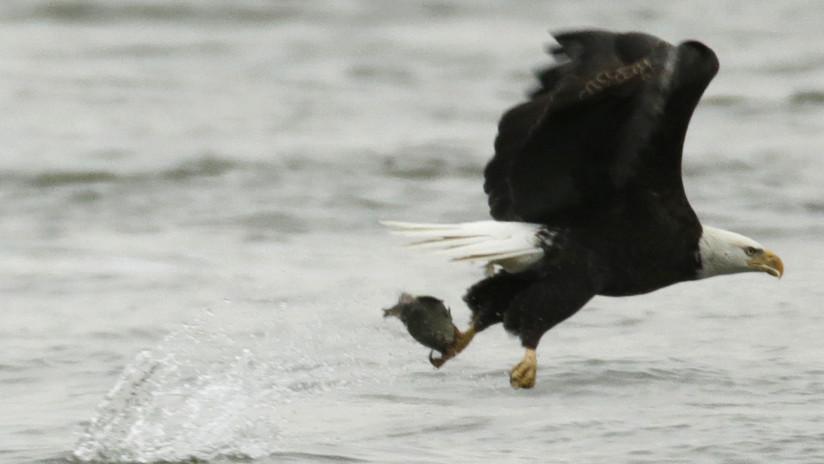 VIDEO: Filman a un águila nadando como una persona en un lago de EE.UU.