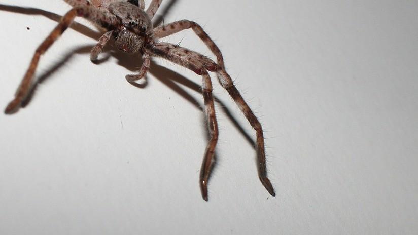 FOTO: Una araña gigante devora una zarigüeya pigmea ante la mirada de unos turistas