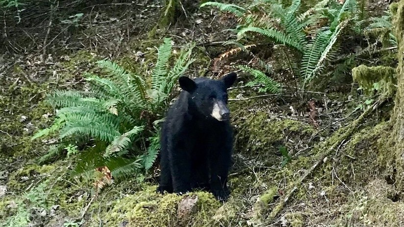 Autoridades sacrifican a un oso por acostumbrarse al contacto con turistas que le daban comida en EE.UU.