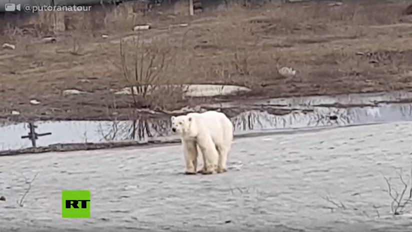 Captan a un oso polar hambriento y agotado vagando por una ciudad rusa