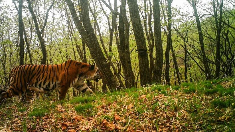 FOTOS: Un tigre de Amur curioso se toma un selfi al espiar una cámara camuflada