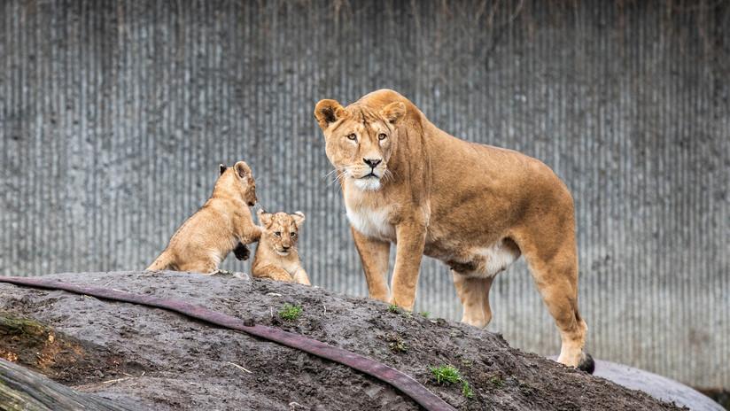 VIDEO: Disfrazan a un hombre de león en Japón para ensayar una captura y la reacción de los felinos no tiene precio