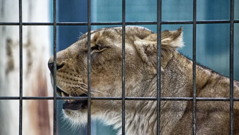 Acusan a un empresario de comprar leones criados en cautiverio para que sus clientes los maten en safaris